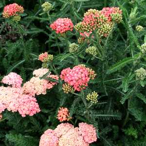 Achillea_Salmon_Beauty