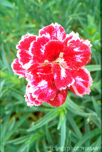 Dianthus Whatfield Gem