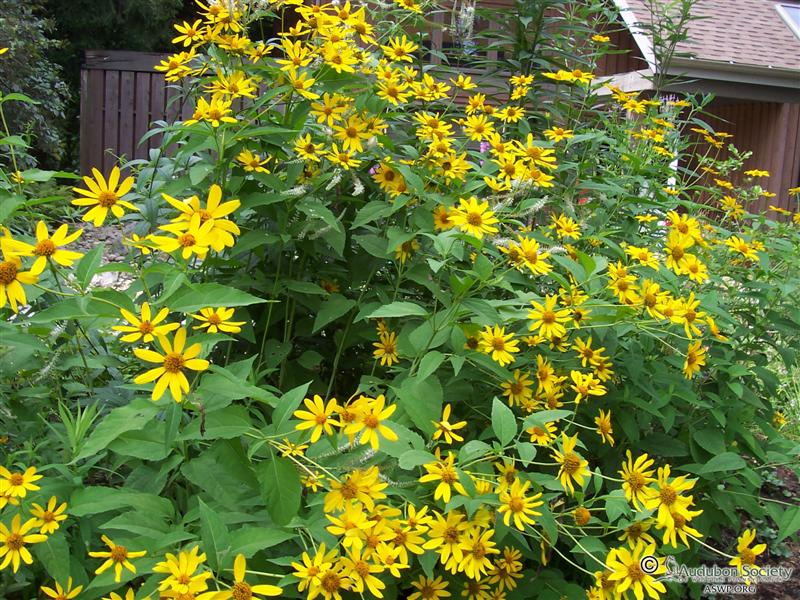 Heliopsis Helianthoides