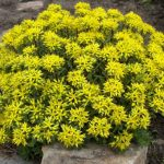 Sedum var.floriferum 'Weihenstephaner Gold'