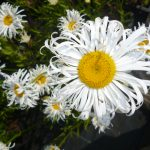 Leucanthemum Droitwich Beauty